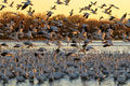 birds, snow geese