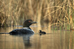bird, loon, wildlife