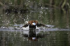 bird, ruddy, duck