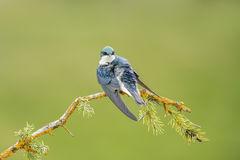 bird, birds, tree, swallow