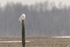 snowy owl, birds