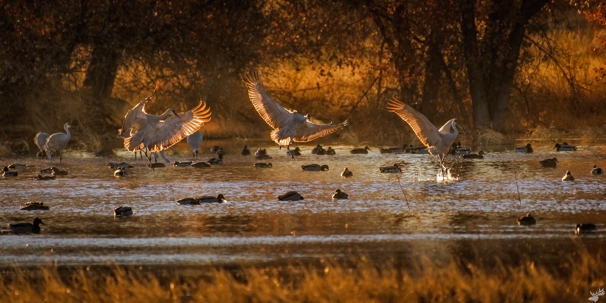 birds, crane, photo