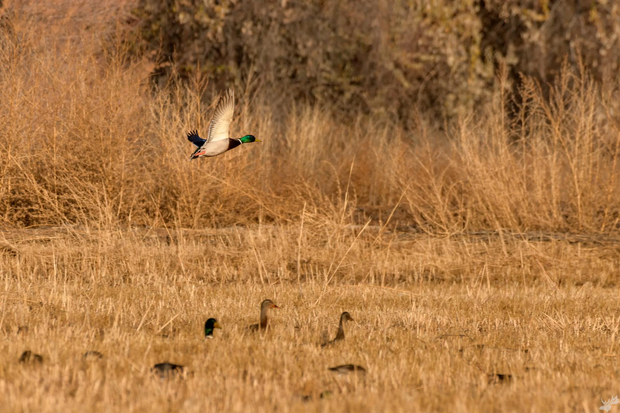 birds, duck, mallard