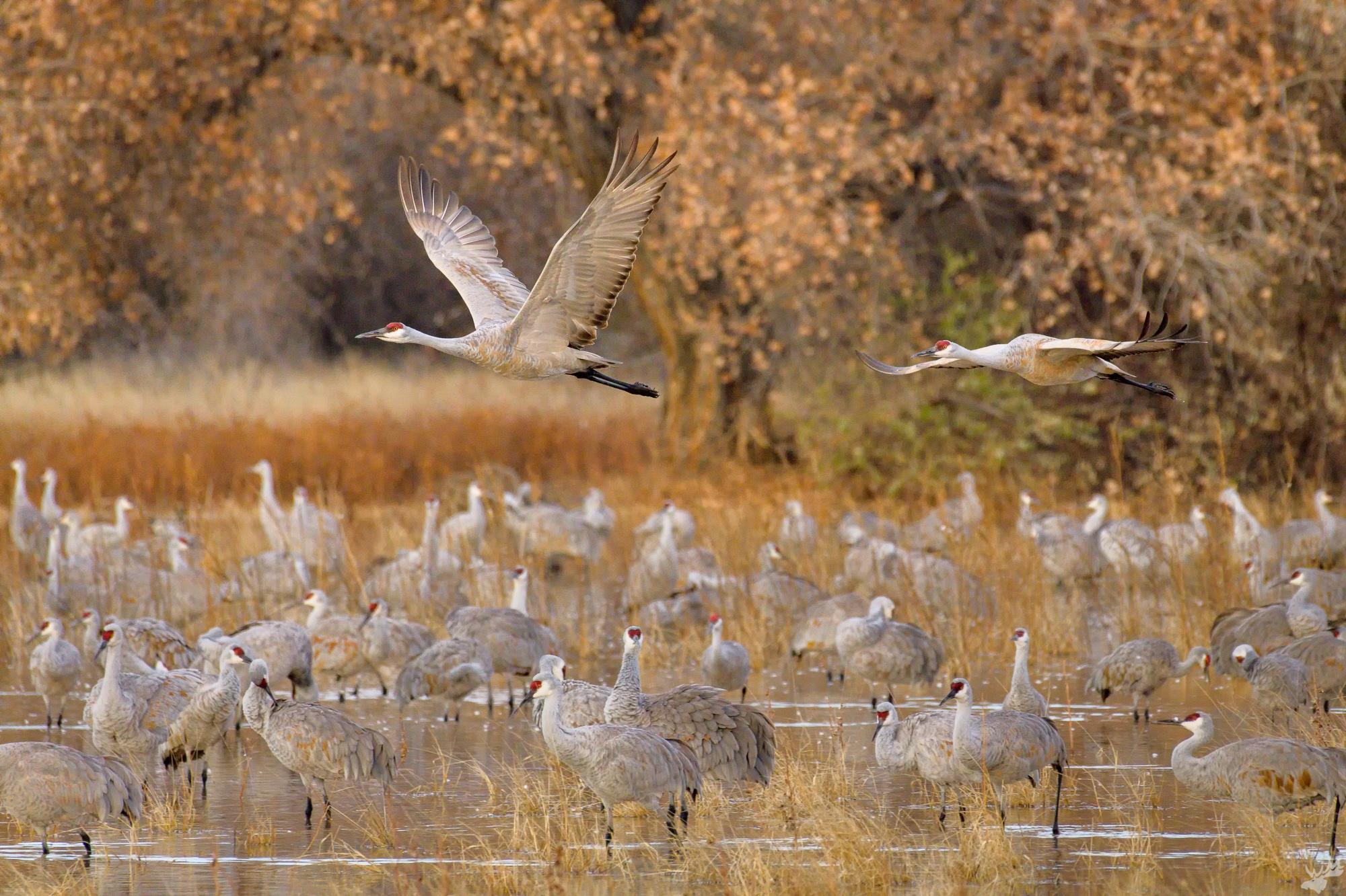 birds, crane