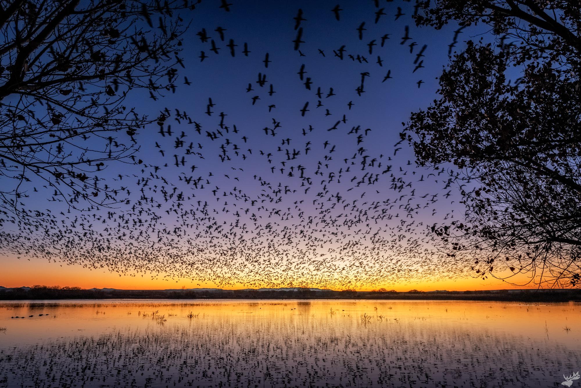 birds, crane, geese
