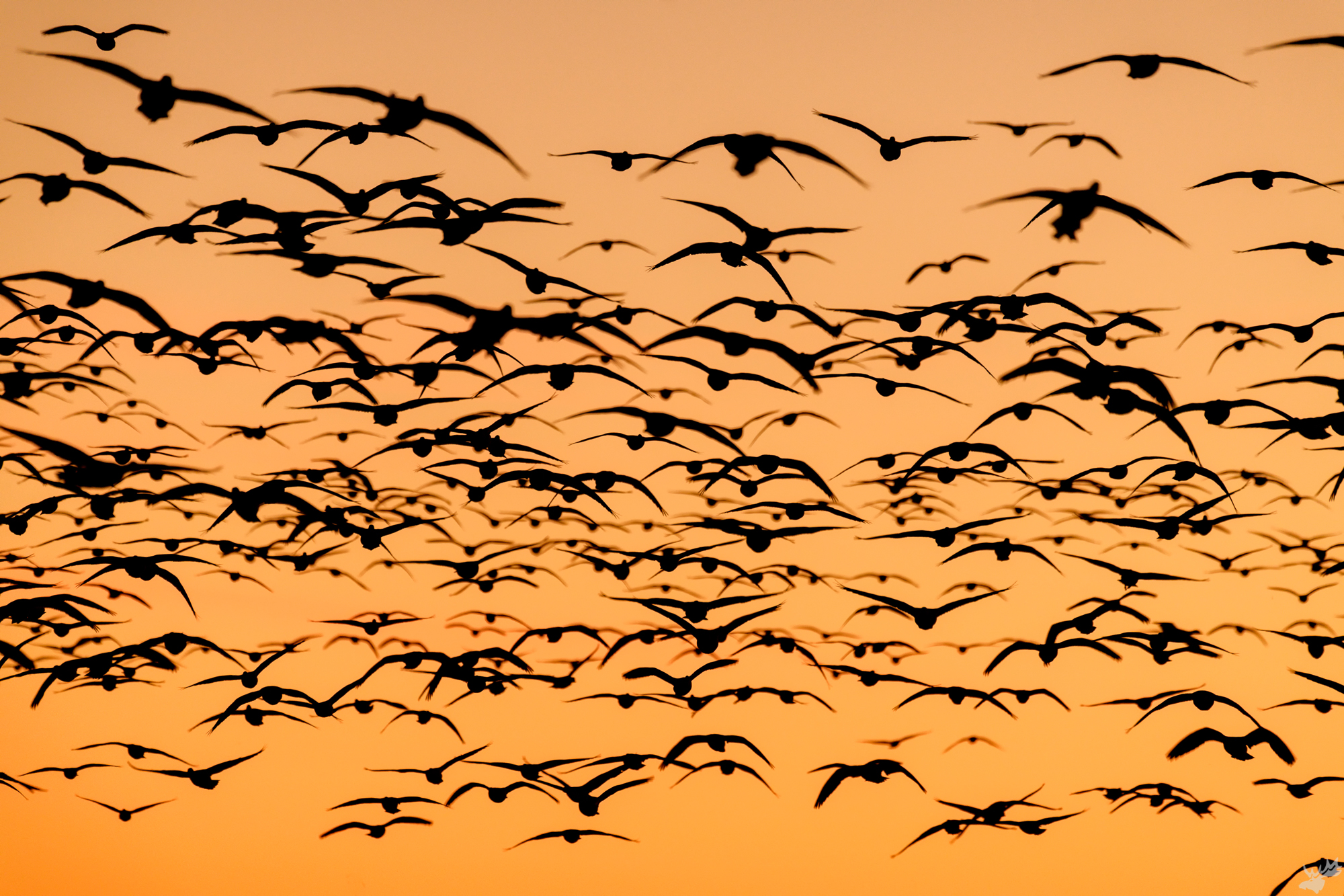 birds, snow geese, photo