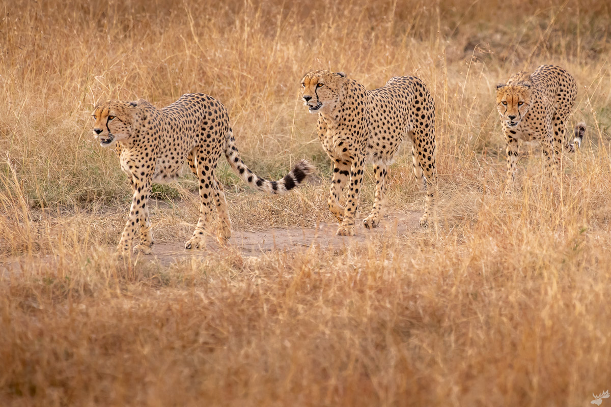 wildlife, cheetah, africa