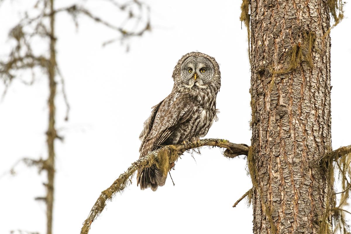 owl, great gray, wildlife