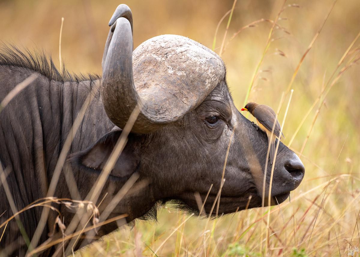 wildlife, buffalo, oxpecker, bird, africa