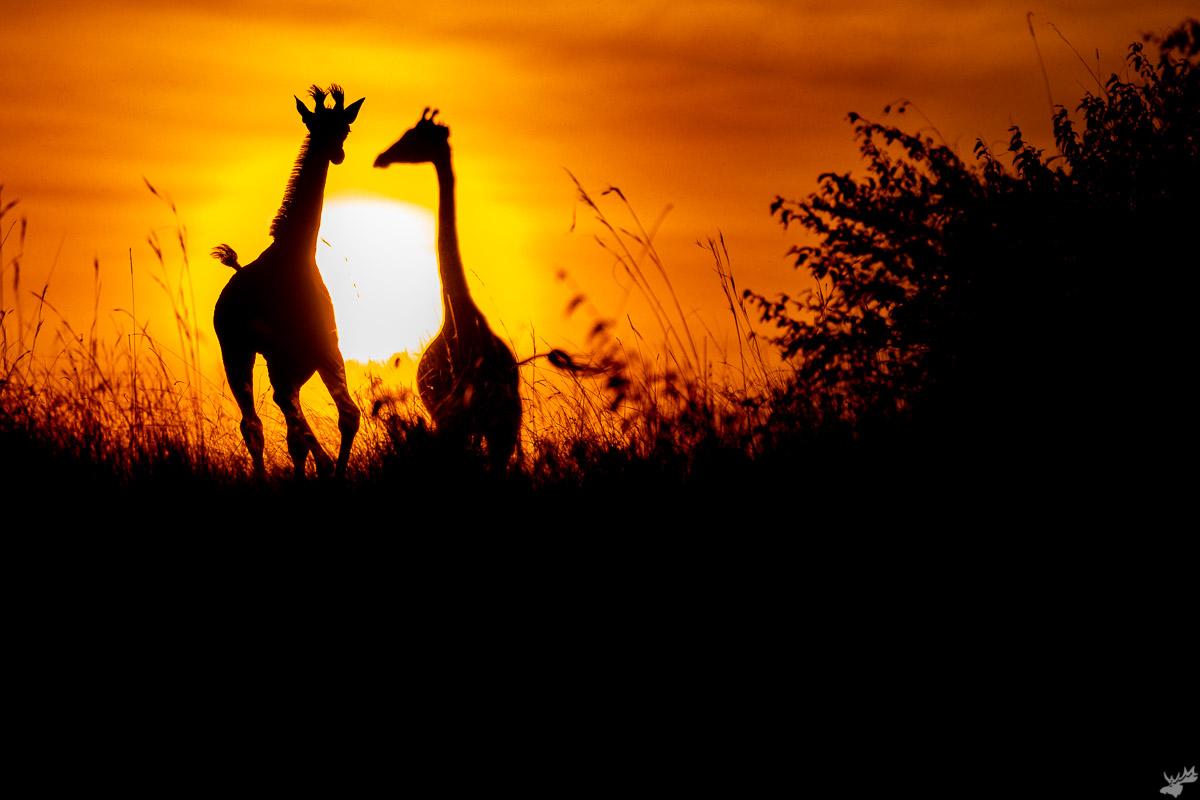 wildlife, sunset, giraffe, africa