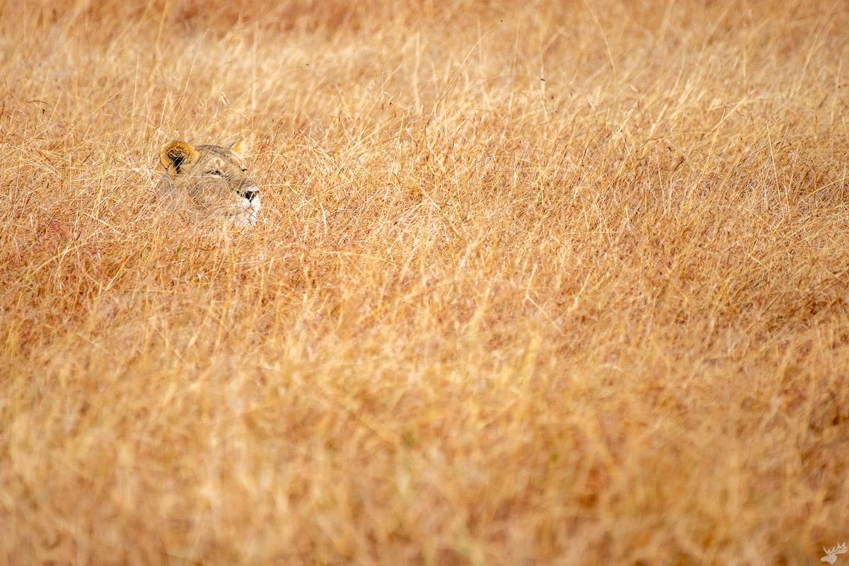 wildlife, lion, lioness, africa