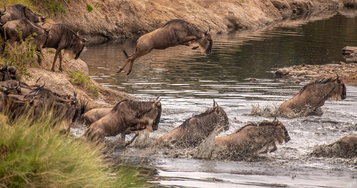 wildlife, crossing, wildebeest, africa
