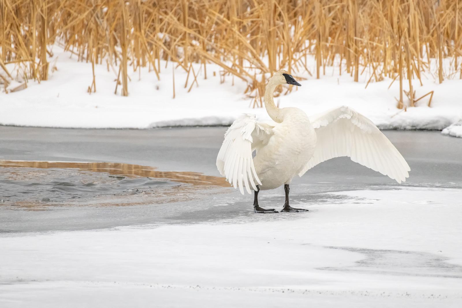 trumpeter, swan, wildlife